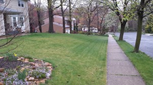 A predominately hard fescue lawn that has not reached full green-up in late April. Avoid overfertilizing fine fescues to force green-up. Serious summer stress problems could develop.