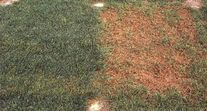 Melting-Out of Kentucky bluegrass.  A resistant cultivar (left) compared to a susceptible cultivar (right).