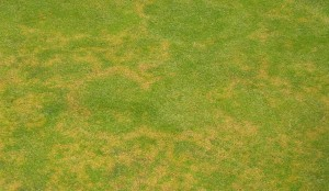 Brown ring patch on a golf green (Photo courtesy of S. McDonald)