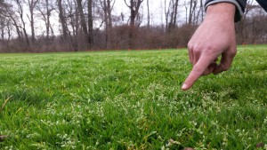 Winter flush of seedheads on annual bluegrass